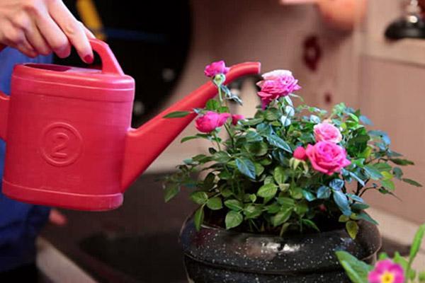 Розы поливают из лейки