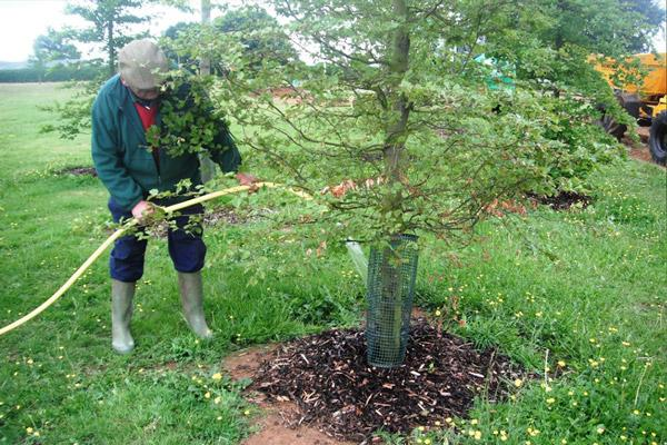 Полив сливового дерева