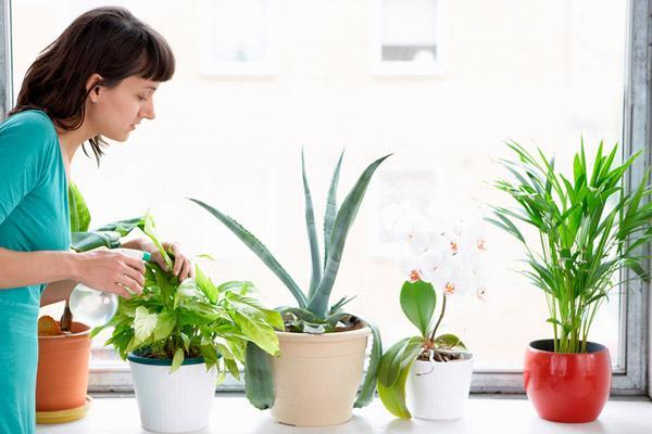 Комнатные растения: полив