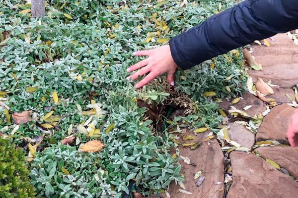 Ясколка войлочная посадка и уход в открытом грунте