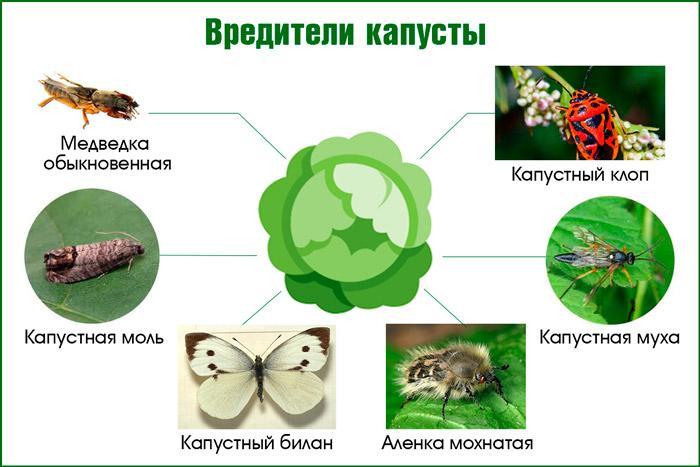 Распространенные вредители капусты