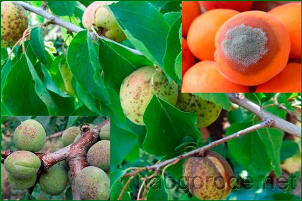 Гнилые абрикосы