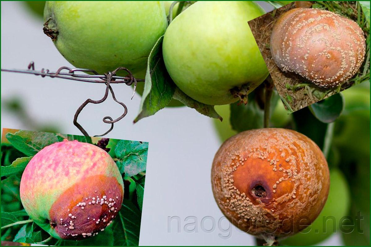 Яблоня болеет монилиозом