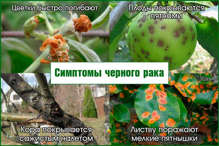 Черный рак у яблони