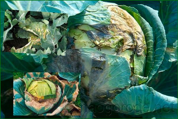 Вялые кусты капусты