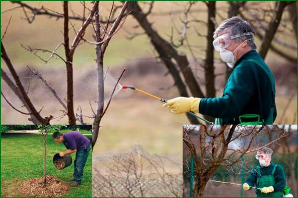 Удобрение грушевых деревьев