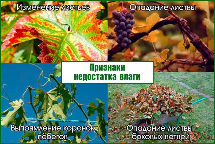 Когда винограду недостает влаги