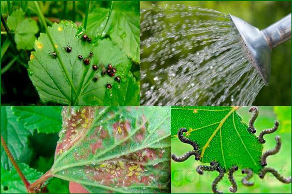 Садовые вредители