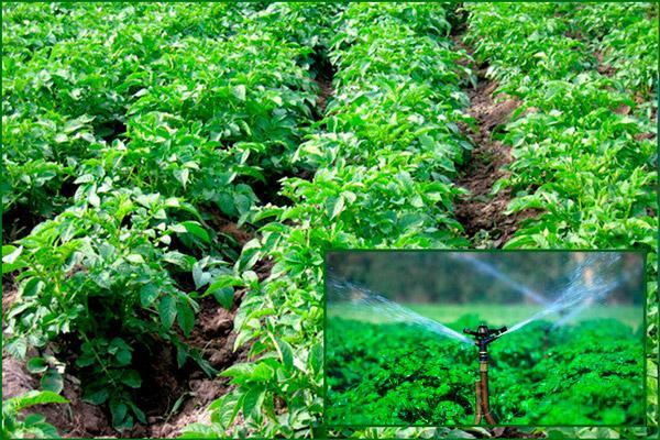 Агротехническая процедура: полив