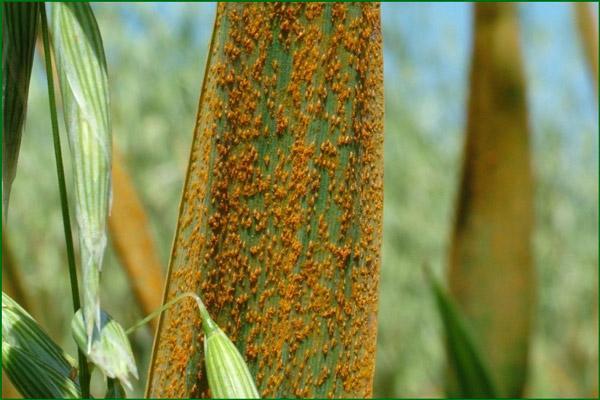 Внешняя болезнь на зернах
