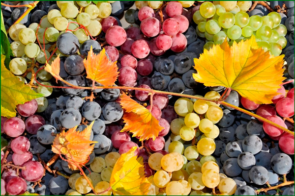Разные цвета винограда