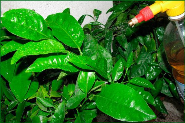 Обрызгивание растения
