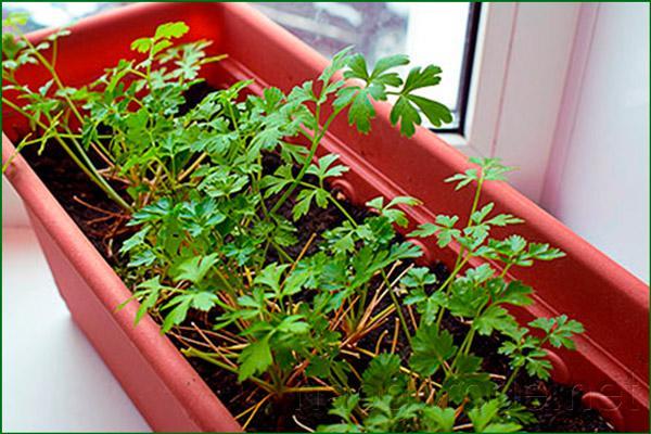 Выращивать петрушку в зимний период