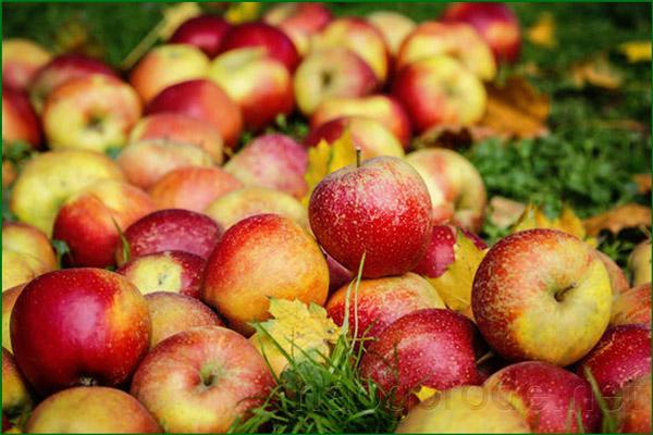 Полностью вызревшие яблоки