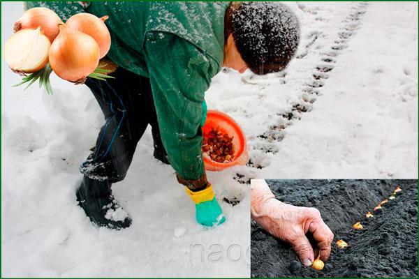 Высадка лука перед холодами