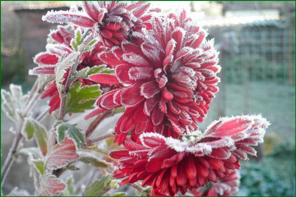 Цветы в снегу