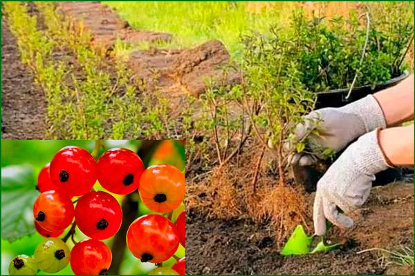 Посадка красной смородины