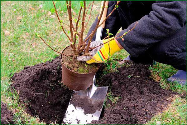 Почва для смородины