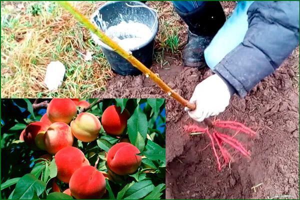 Плодовое растение