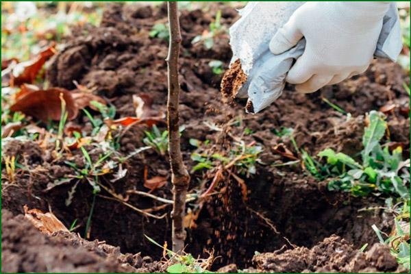 Почва для персика