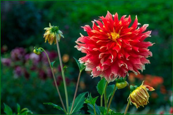 Цветок садовый георгин