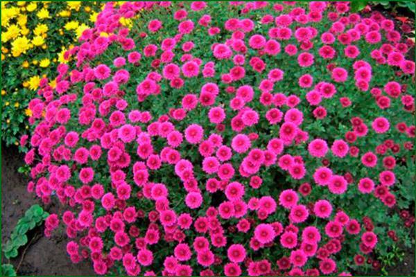 Цветок многолетняя хризантема
