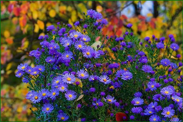 Цветок многолетняя астра