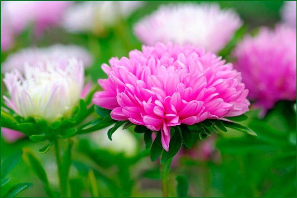 Цветок китайская однолетняя астра