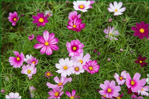 Цветок дваждыперистая космея